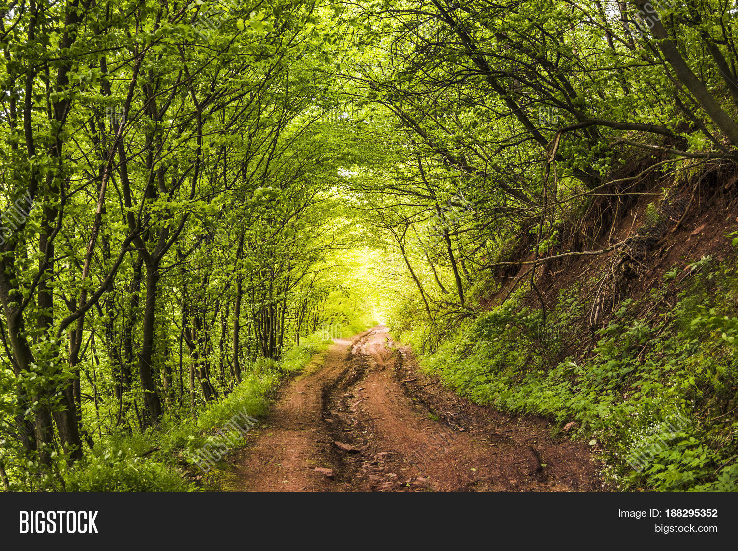 Natural Green Tunnel Road Forest Image & Photo