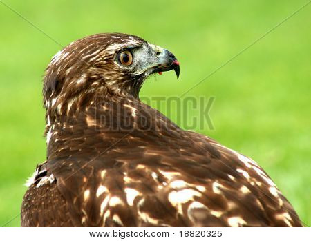 Hawk after hunting