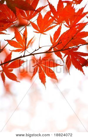 Closeup of red japanese maple leaves