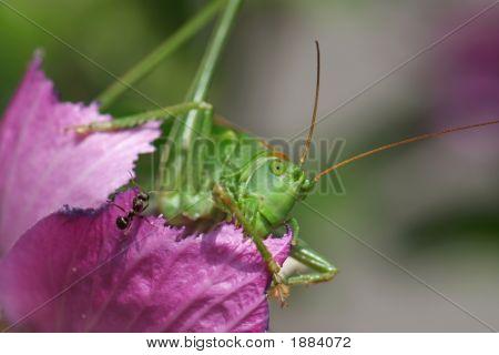 Ant And Locust