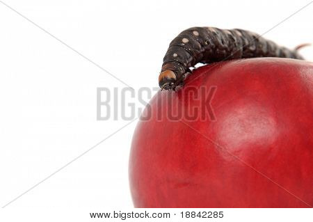 Big black caterpillar on top of a red apple isolated macro on white background