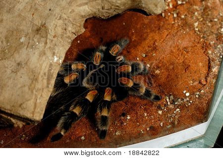 Brachypelma Smithi Mexican Redknee bird spider tarantula in a vivarium with tropical setting