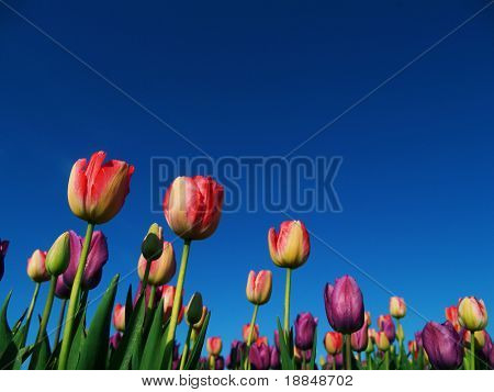 cross-process photograph of a tulip field against a blue sky