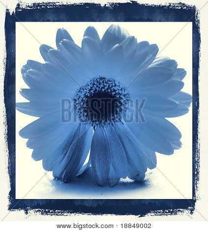 photographic reproduction cyanotype Delft Blue daisy