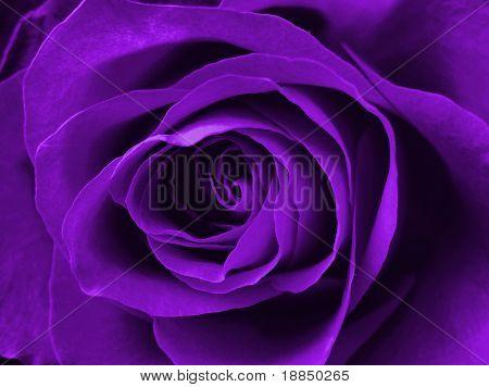 digitally enhanced purple rose background