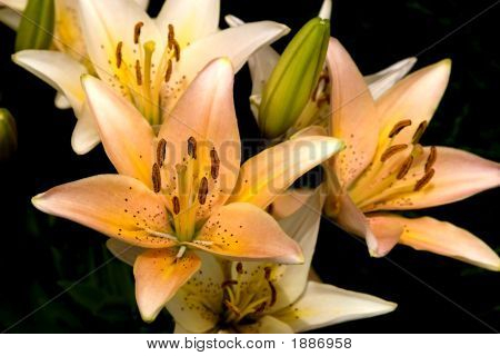 New Lilies