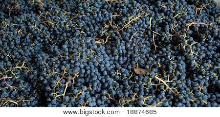 Close-up view of harvested merlot grapes.