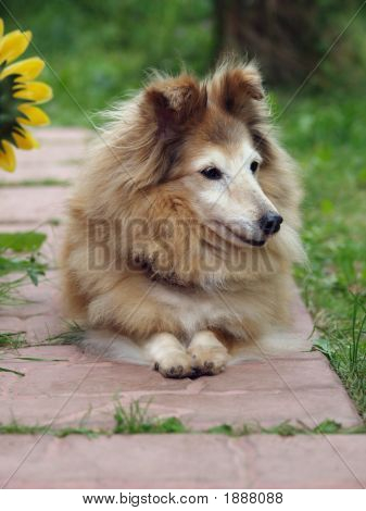 Sheltie Summer Portrait