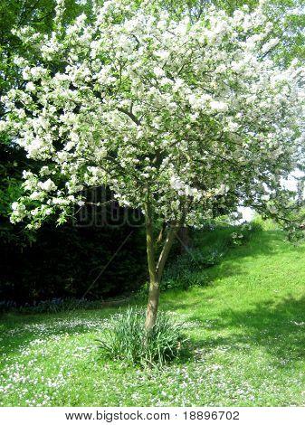 White cherry blossom tree in spring season