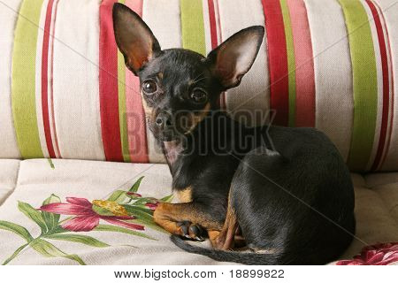 lonely russian toy terrier puppy lying on bed and looking at camera