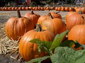 Pumpkins And Vine