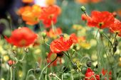 California Poppy. California Poppy Flowers shot with a Shallow Depth of Field for an artistic view.  poster
