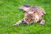 Black tabby Maine Coon cat lying in grass waiting for prey. Adorable young male cat in backyard. Pet poster