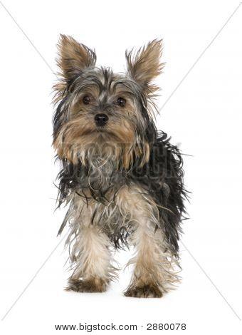 Yorkshire Terrier (5 Months)