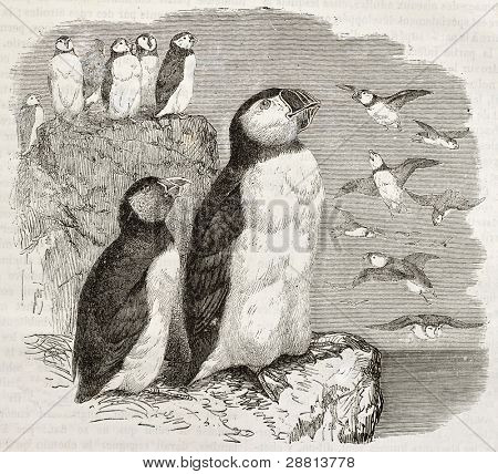 Atlantic Puffin old illustration (Fratercula arctica). Created by Kretschmer and Illner, published on Merveilles de la Nature, Bailliere et fils, Paris, ca. 1878