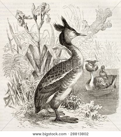 Great Crested Grebe old illustration (Podiceps cristatus). Created by Kretschmer and Schmid, published on Merveilles de la Nature, Bailliere et fils, Paris, ca. 1878