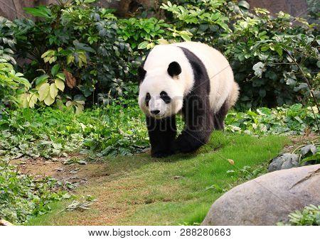 A Giant Panda Walking Around