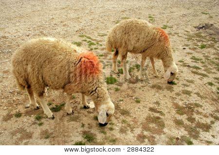 zwei Schafe Fütterung