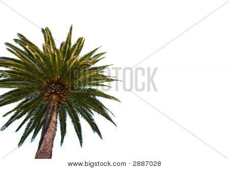 Palm Tree op wit