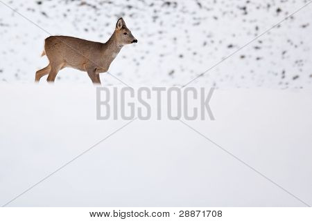 Roebuck (capreolus capreolus) in winter