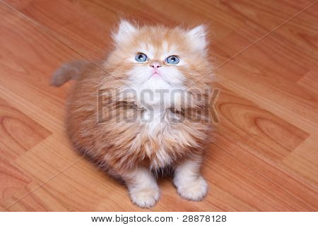 Red kitten on wooden floor.