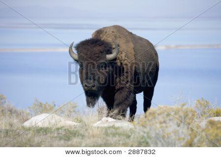 Buffalo In Utah