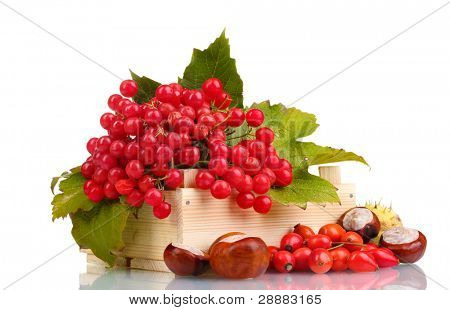 red berries of viburnum in wooden box, chestnuts and briar isolated on white