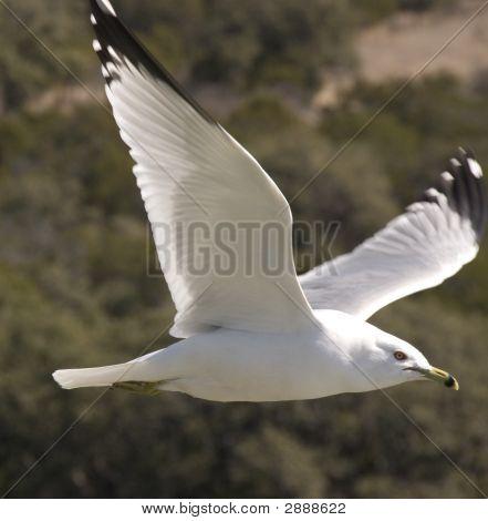 Single Gull In Flight