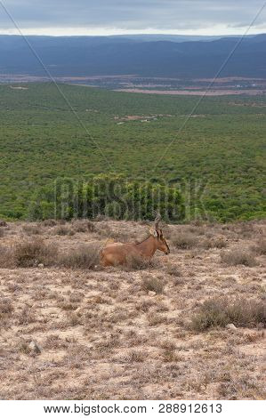 Red Hartebeest Antelope In The