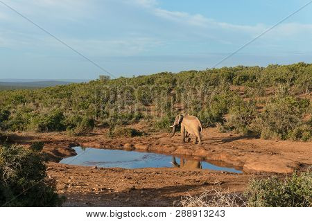 Single Elephant Bull At Water