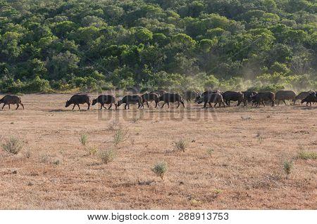 Large Herd Of Wild African