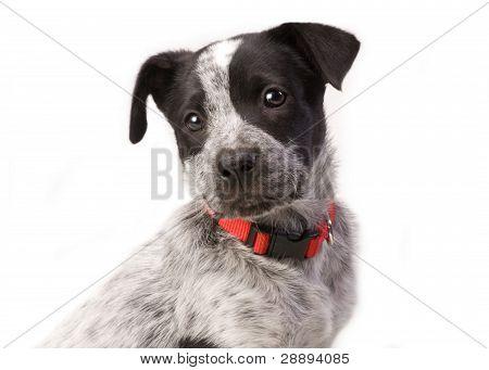 Texas Blue Heeler Pup.