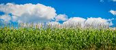 Corn Field In The Summertime With Bright Blue Sky poster