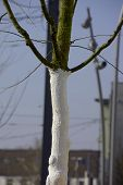 Tree Trunk Is Painted With White Tree Paint Or Wound Dressing To Protect Against Fungus And Sun And  poster