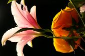 stock photo of stargazer-lilies  - Yellow roses and a pink Stargazer Lily are illuminated from above - JPG
