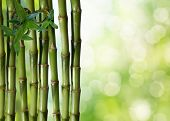 image of bamboo forest  - fine image of different bamboo - JPG