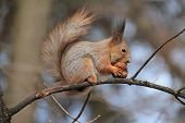 Squirrel Eats Nut On Tree, Rodent, Forest, Animal, Fauna, Nature poster