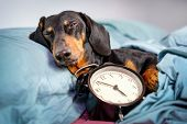 Black And Tan Dog Breed Dachshund Sleep In Bed With  Alarm Clock. Live With Schedule, Time To Wake U poster