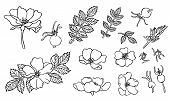 Vector Hand Drawn Dogrose Flowers With Black Ink. Botany Illustration Wild Rose For Print, Card, Dec poster