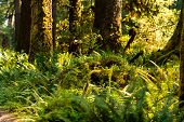Delicate Fern And Trees Against Pacific Northwest Forest poster
