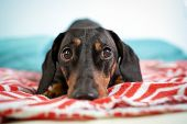 Sad Dachshund, Black And Tan, Is Lying On  A Bed. poster