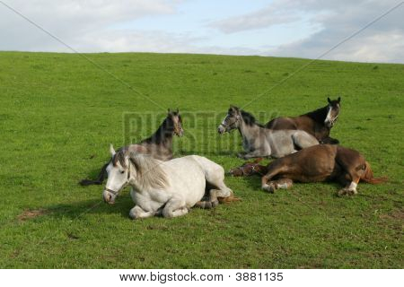 Shagya Arab Horses Lies