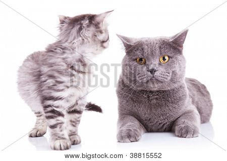portrait of an english kitten looking at an adult cat which is staring into the camera