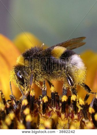 Bumble Bee On A Sun Flower