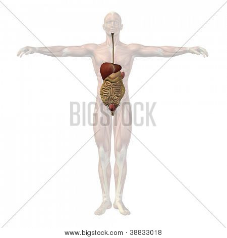 High resolution concept or conceptual anatomical human man 3D digestive system isolated on white background as metaphor to anatomy,medical,body,stomach,medicine, intestine,biology,internal or digest