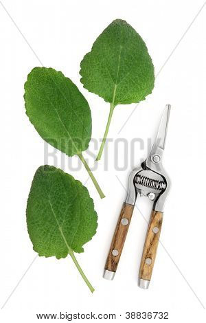 Clary sage herb leaf sprigs with rustic secateurs over white background. Salvia sclarea.