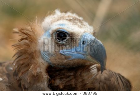 Vulture With Blue Face