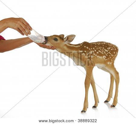 hand raising fawn - woman bottle feeding baby doe isolated on white background