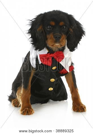 formal dog - cavalier king charles spaniel dressed up in a tuxedo on white background
