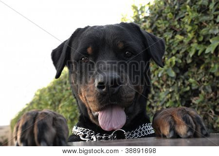 An rottweiler showing its tongue on a white background.